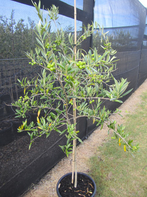 advanced trees direct products olive arbequina