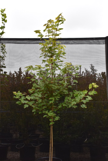 Advanced Trees Direct Products Blue Arrow Conifer